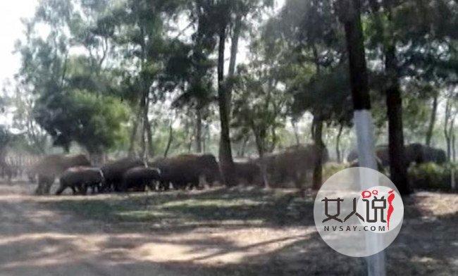 60只大象迷路进村 坑惨村民无辜躺枪房屋被毁哭晕厕所